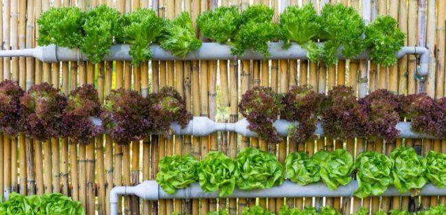 Mô hình rau thủy canh cung cấp rau sạch tại nhà